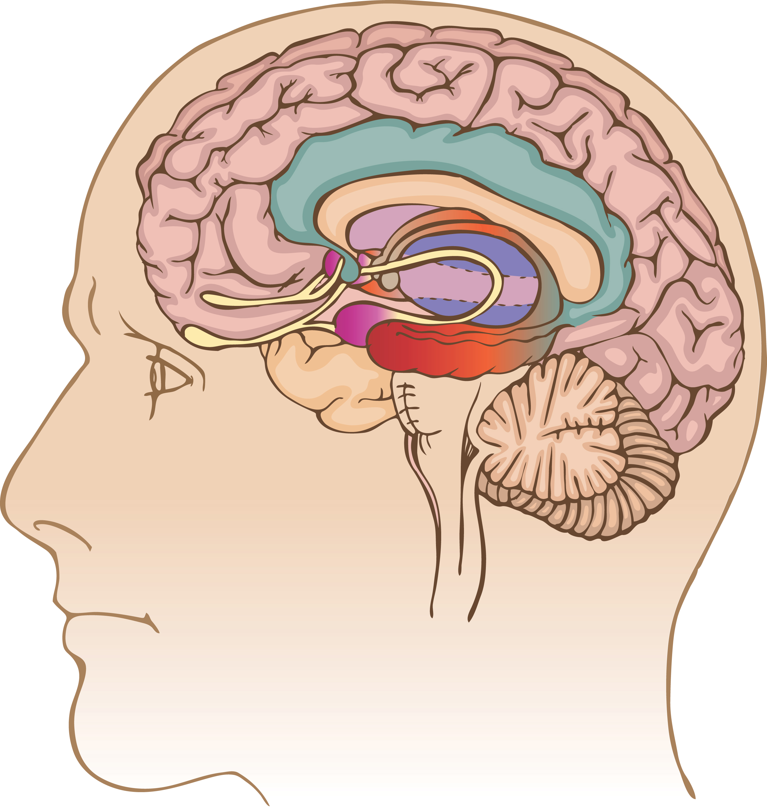 Blank diagram of the limbic system all kind of wiring diagrams support groups different brains schlesinger pain center rh schlespain com blank basal ganglia diagram subcortical brain structures limbic system ccuart Gallery