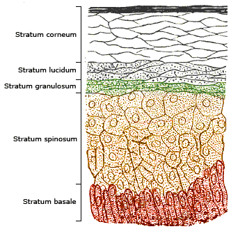 The photosynthesis of vitamin D takes place in the two deepest layers the  stratum spinosum and the stratum basale.