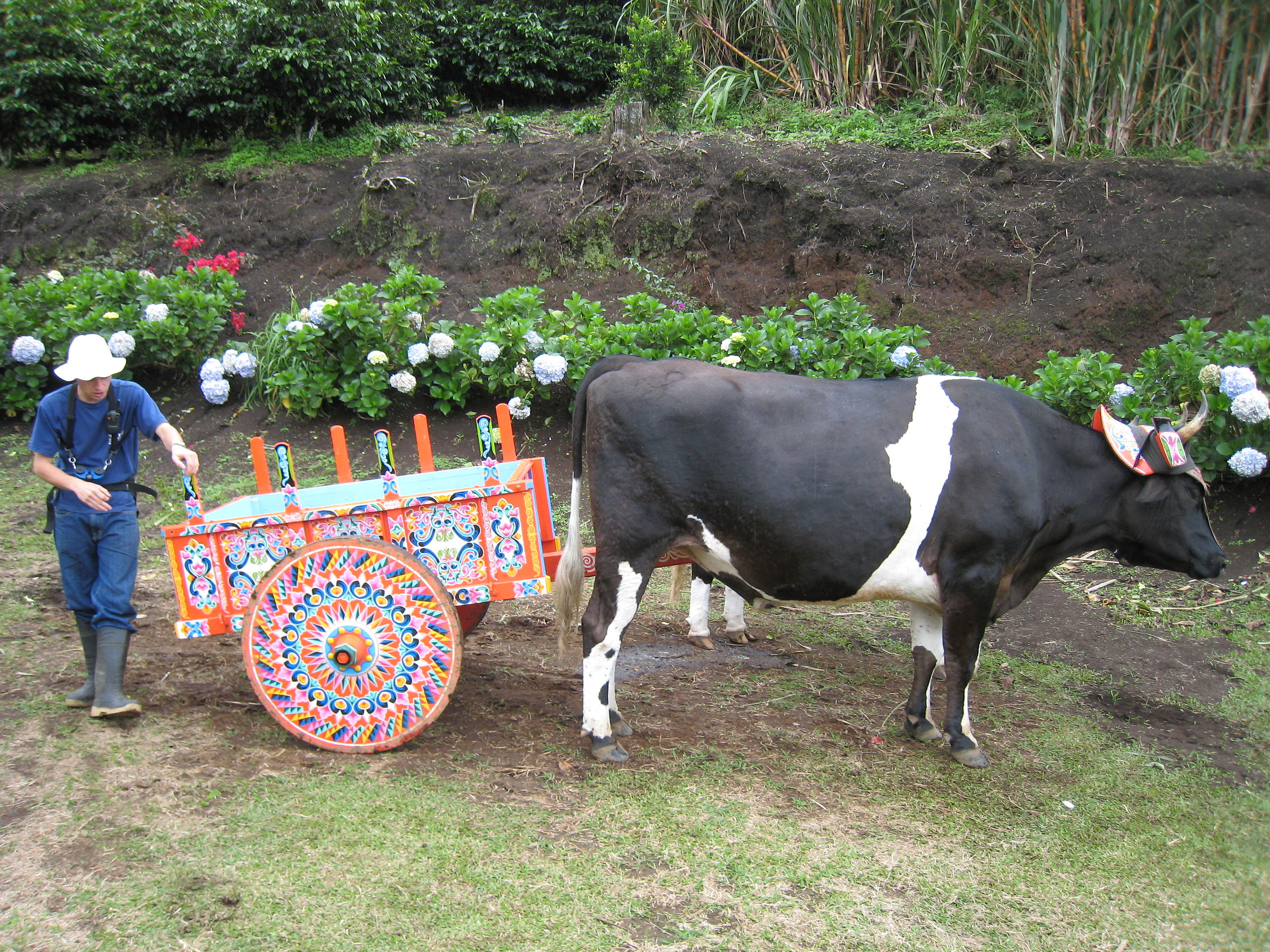"""Most people think of technological change as a distinctly modern phenomenon, but in terms of your back the most important event ay have been the introduction of the ox cart. """"The cow pushing the decorated cart"""" by Chad Rosenthal from Jerusalem, Israel - The cow pushing the decorated cart. Licensed under CC BY 2.0 via Wikimedia Commons - http://commons.wikimedia.org/wiki/File:The_cow_pushing_the_decorated_cart.jpg#mediaviewer/File:The_cow_pushing_the_decorated_cart.jpg"""